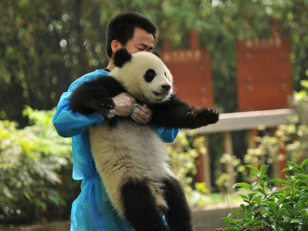 https://de.topchinatravel.com/pic/stadt/chengdu/attractions/Chengdu-Research-Base-of-Giant-Panda-Breeding-16.jpg