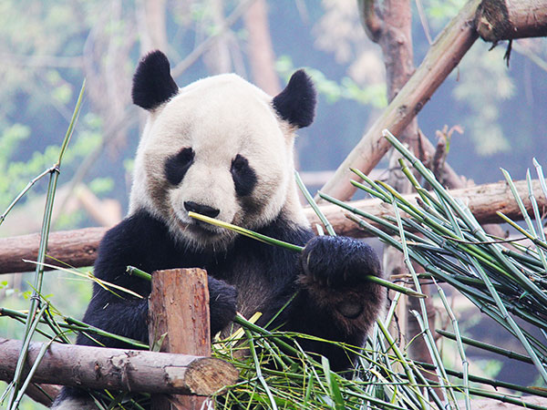 4 Tage Beste Chengdu Reise