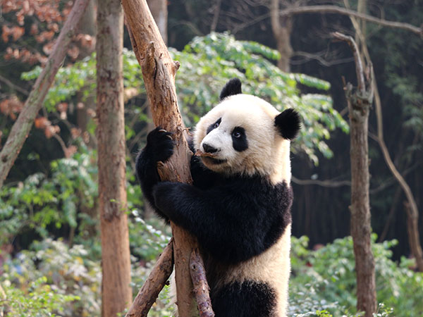 https://de.topchinatravel.com/pic/stadt/chengdu/attractions/Chengdu-Research-Base-of-Giant-Panda-Breeding-5.jpg
