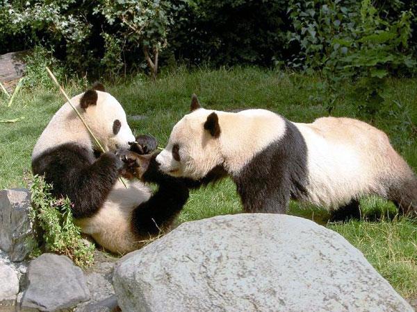 https://de.topchinatravel.com/pic/stadt/chengdu/attractions/chengdu-reserach-base-of-giant-panda-breeding-15.jpg