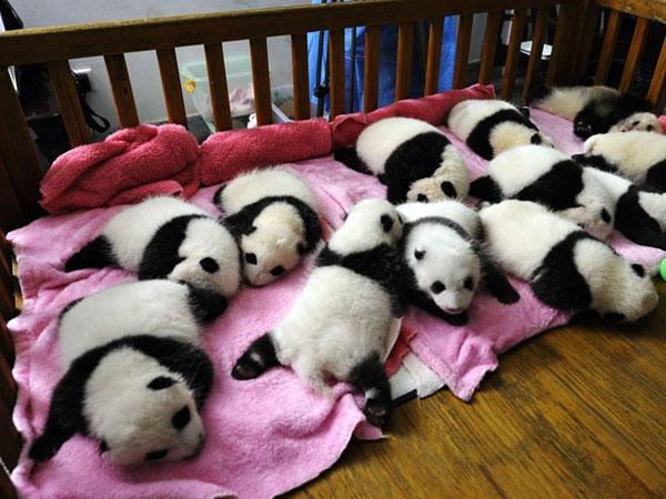 https://de.topchinatravel.com/pic/stadt/chengdu/attractions/chengdu-reserach-base-of-giant-panda-breeding-19.jpg